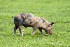 Este porco pequeno fotos de stock royalty free