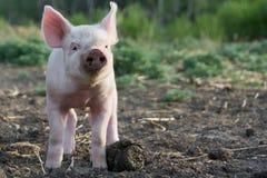Este pouco Piggy Fotografia de Stock Royalty Free
