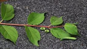 Esteira rolante verde da lagarta video estoque