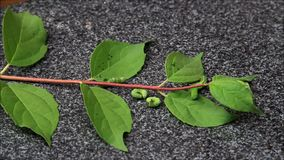 Esteira rolante verde da lagarta filme