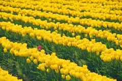 Esteja para fora o Tulip Fotografia de Stock