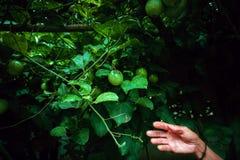 Estenda o processo legal verde na árvore, fruto manual foto de stock royalty free