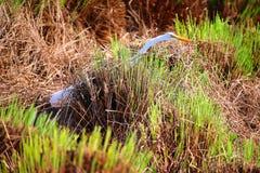 Estensione lunga dell'uccello del collo Fotografie Stock