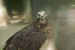 Estepa Ucrania del águila calva Fotografía de archivo libre de regalías