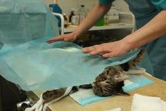 Esterilización quirúrgica del gato Fotos de archivo libres de regalías