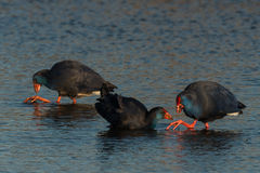 Estern swamphen Royalty Free Stock Images