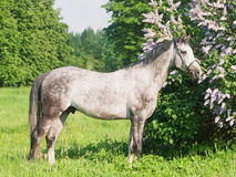 Esterno del cavallo grigio Immagini Stock Libere da Diritti
