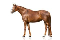 Esterno del cavallo isolato fotografie stock