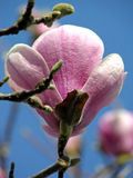 Esterno della magnolia Immagini Stock