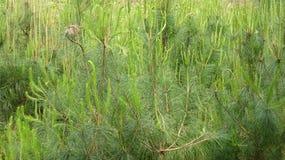 Estes são pinheiros plantados imagens de stock royalty free