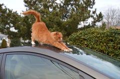 Esticando o gato malhado Imagens de Stock