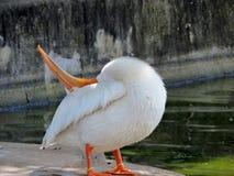 Esticando o pelicano Fotografia de Stock