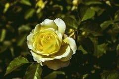Estilo color de rosa del vintage del oro Foto de archivo libre de regalías