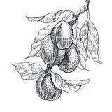 Estilo da gravura da ameixa do fruto do jardim Isolado no fundo branco Ilustração tirada do estilo mão retro Ameixa do vintage Fotos de Stock