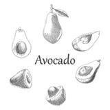 Estilo da gravura do desenho da mão do abacate Imagens de Stock