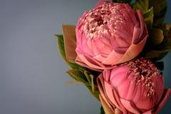 Estilo de la imagen del vintage en lirio de agua o la flor de loto plegable rosado Fotografía de archivo libre de regalías