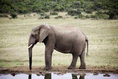 Estilo de vida do elefante em África do Sul fotografia de stock