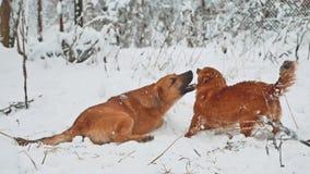Estilo de vida de dois cães que luta no inverno da neve dois cães jogam para morder-se para correr e cair conceito da luta de cãe video estoque