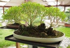 Estilo del bosque del árbol de los bonsais Imagen de archivo