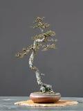 Estilo del literati de los bonsais del alerce en resorte Fotografía de archivo libre de regalías