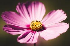 Estilo del vintage de la flor del cosmos fotografía de archivo