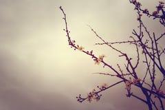 Estilo del vintage del flor del ciruelo fotos de archivo