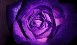 Estilo fresco hermoso del vintage de la rosa de la púrpura del primer Imágenes de archivo libres de regalías