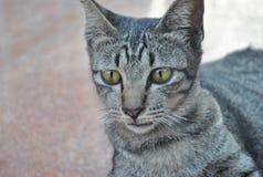 Estilo hermoso de Asia del gato de la cara y de los ojos Fotografía de archivo
