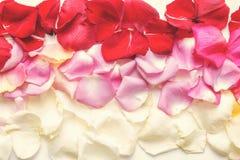 Estilo mínimo Fotografia minimalista da forma O rosa aumentou as pétalas ajustadas no fundo branco flatlay Vista superior imagens de stock