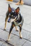 Estilo negro del doberman del perro de la chihuahua foto de archivo libre de regalías