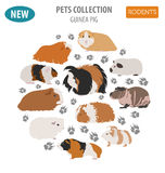 Estilo plano determinado del icono de las razas del conejillo de Indias aislado en blanco Barra del animal doméstico Imágenes de archivo libres de regalías