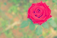 Estilo retro da rosa do vermelho Imagem de Stock