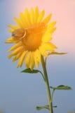 Estilo retro do moderno do vintage girassol amarelo na sagacidade dos óculos de sol Fotos de Stock