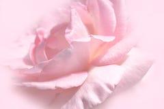 Estilo suave del color del rosa del primer de la flor floral de la rosa para el fondo y el papel pintado Fotografía de archivo