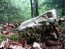 Estimada aún vida del cráneo Imagen de archivo libre de regalías