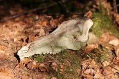 Estimada aún vida del cráneo Foto de archivo