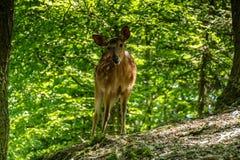Estimado y cervatillo en un bosque Imágenes de archivo libres de regalías