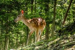 Estimado y cervatillo en un bosque Imagen de archivo