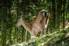 Estimado y cervatillo en un bosque Fotos de archivo