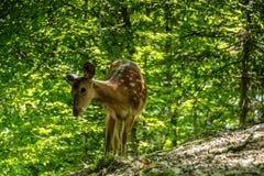 Estimado y cervatillo en un bosque Fotografía de archivo