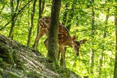 Estimado y cervatillo en un bosque Fotos de archivo libres de regalías