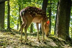 Estimado y cervatillo en un bosque Foto de archivo libre de regalías