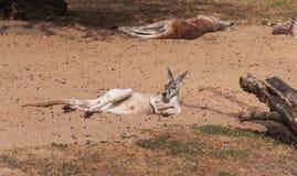 Esting kangaroo Stock Photo