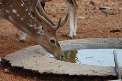 Estinzione della sete Fotografia Stock Libera da Diritti