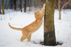 Estiramentos do gato do gengibre Fotografia de Stock Royalty Free