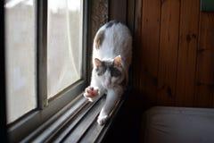 Estiramentos engraçados brancos do gato após o sono Foto de Stock