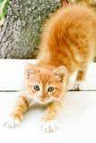 Estiramentos vermelhos pequenos bonitos do gatinho Imagem de Stock