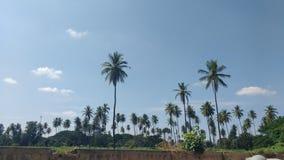Estiramiento de los árboles de coco fotos de archivo