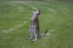 Estiramiento del canguro Fotos de archivo