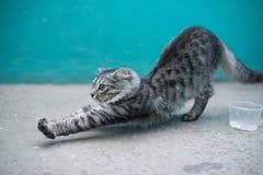 Estiramiento del gato Imagen de archivo